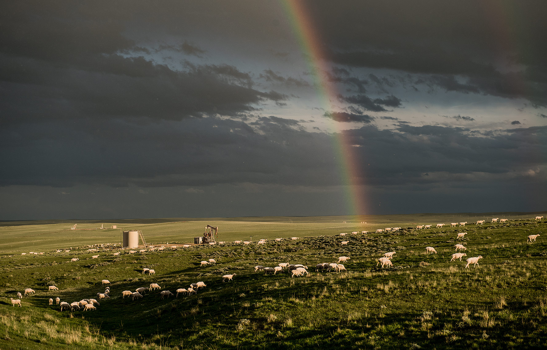 Rainbow and Sheep Herd on Oilfield