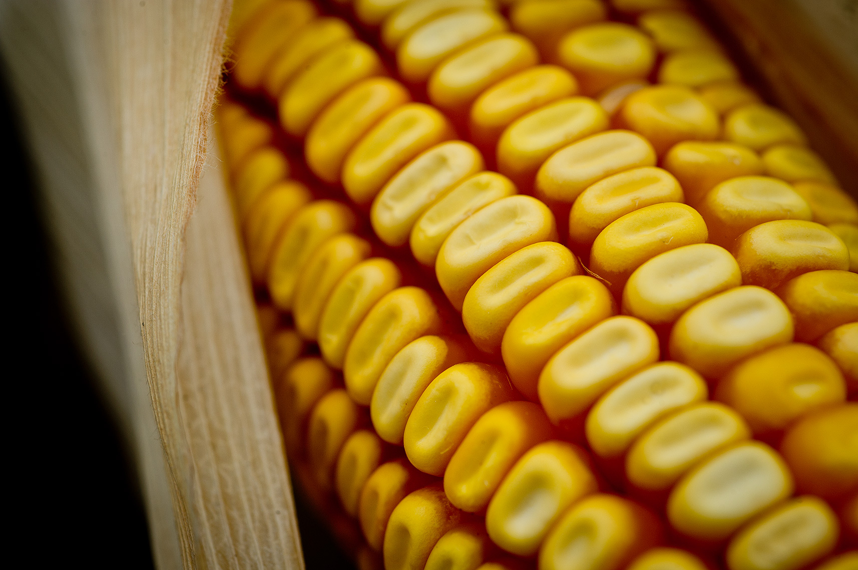 Ear of Corn Photograph
