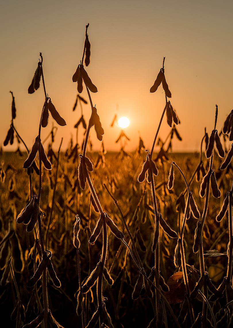 Soybean Field Photograph