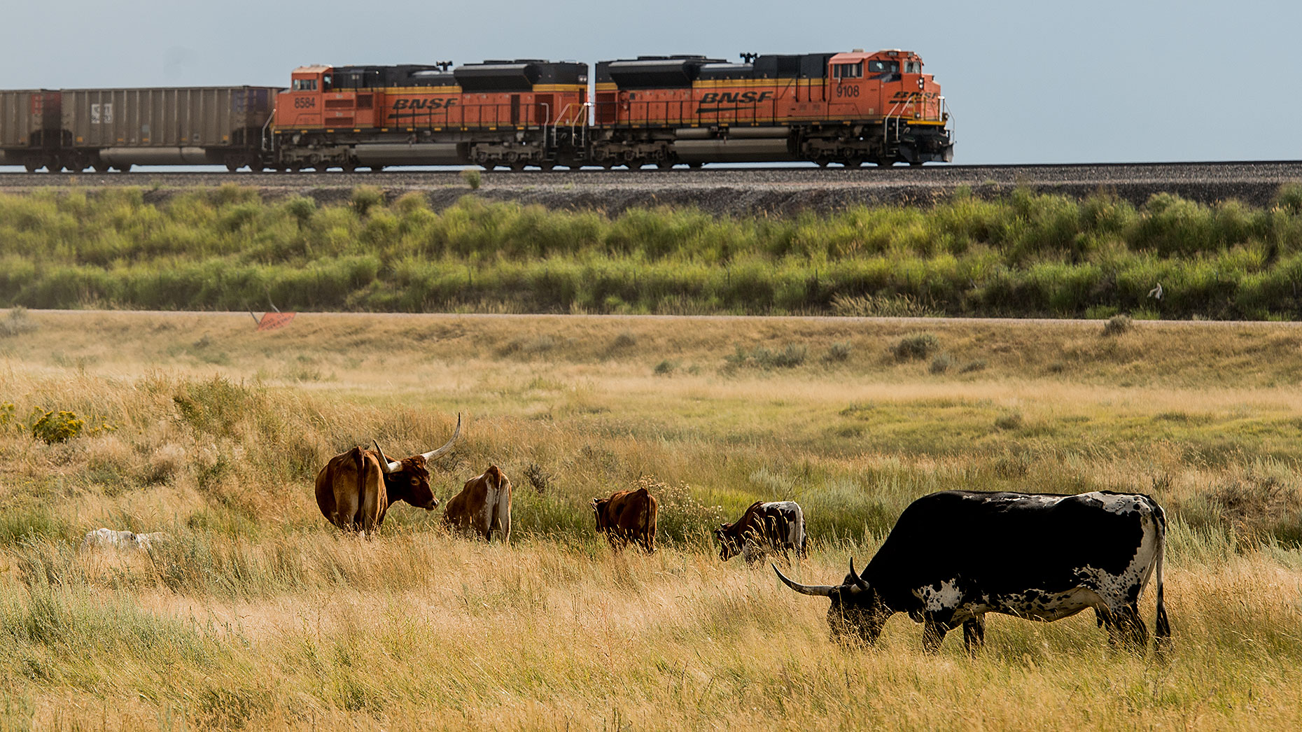 Railroad and Cattle Herd
