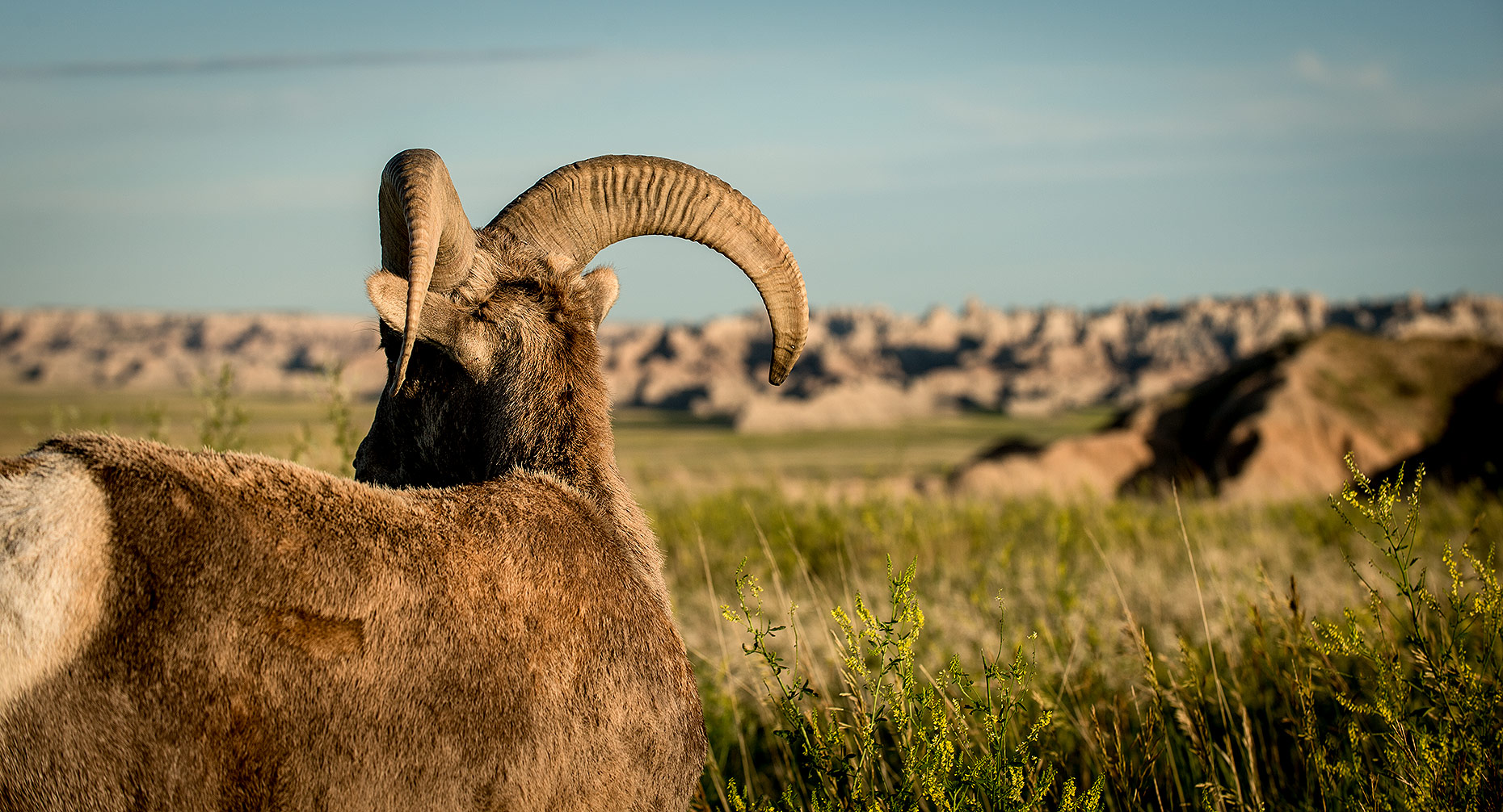 Bighorn Sheep Photograph