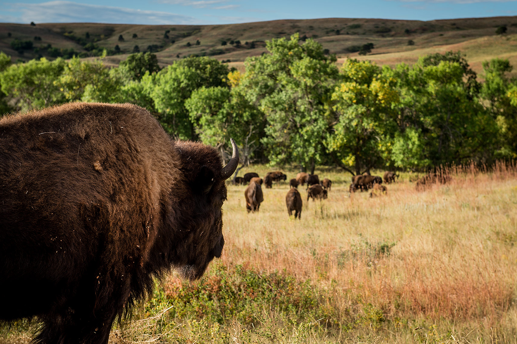 Bison and Buffalo Photography