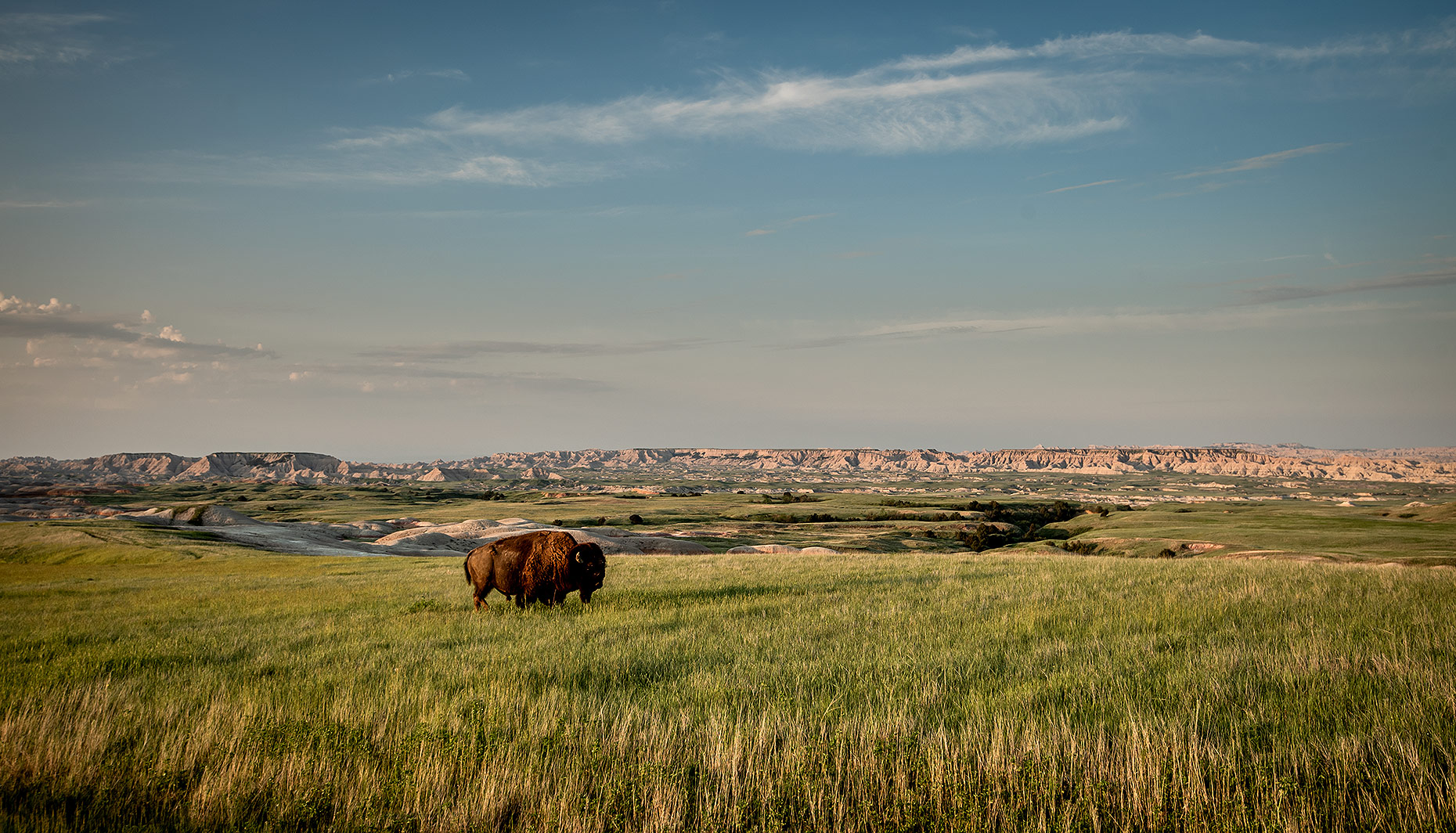 Bison and Badlands Photograph