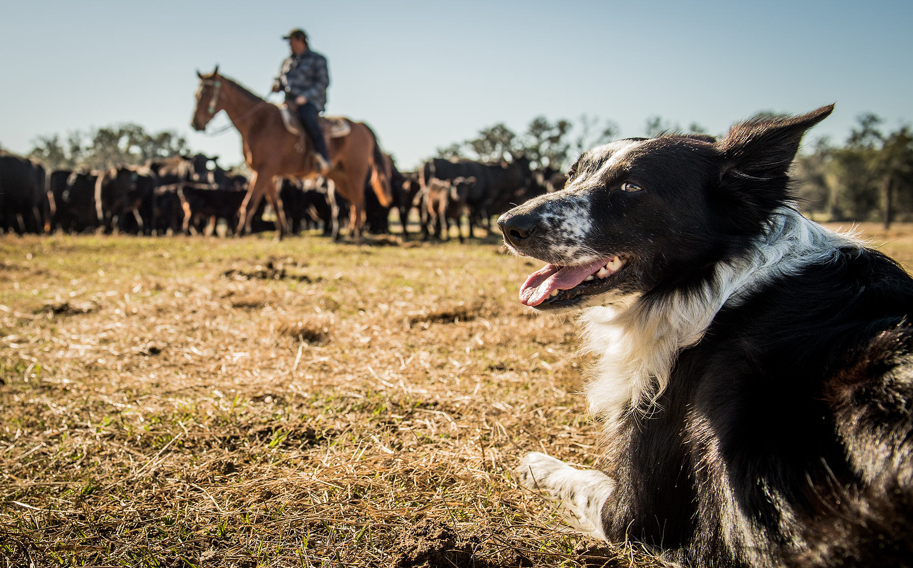 Border Collie and Cattle Herd with Cowboy
