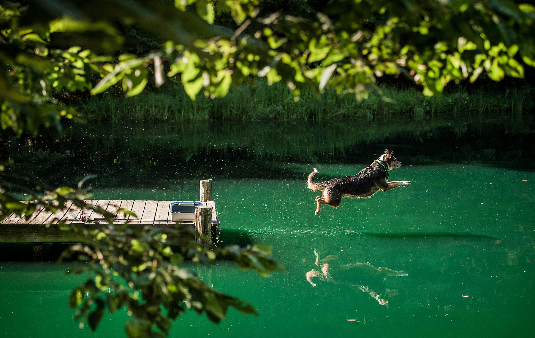 Dog Jumping off Dock