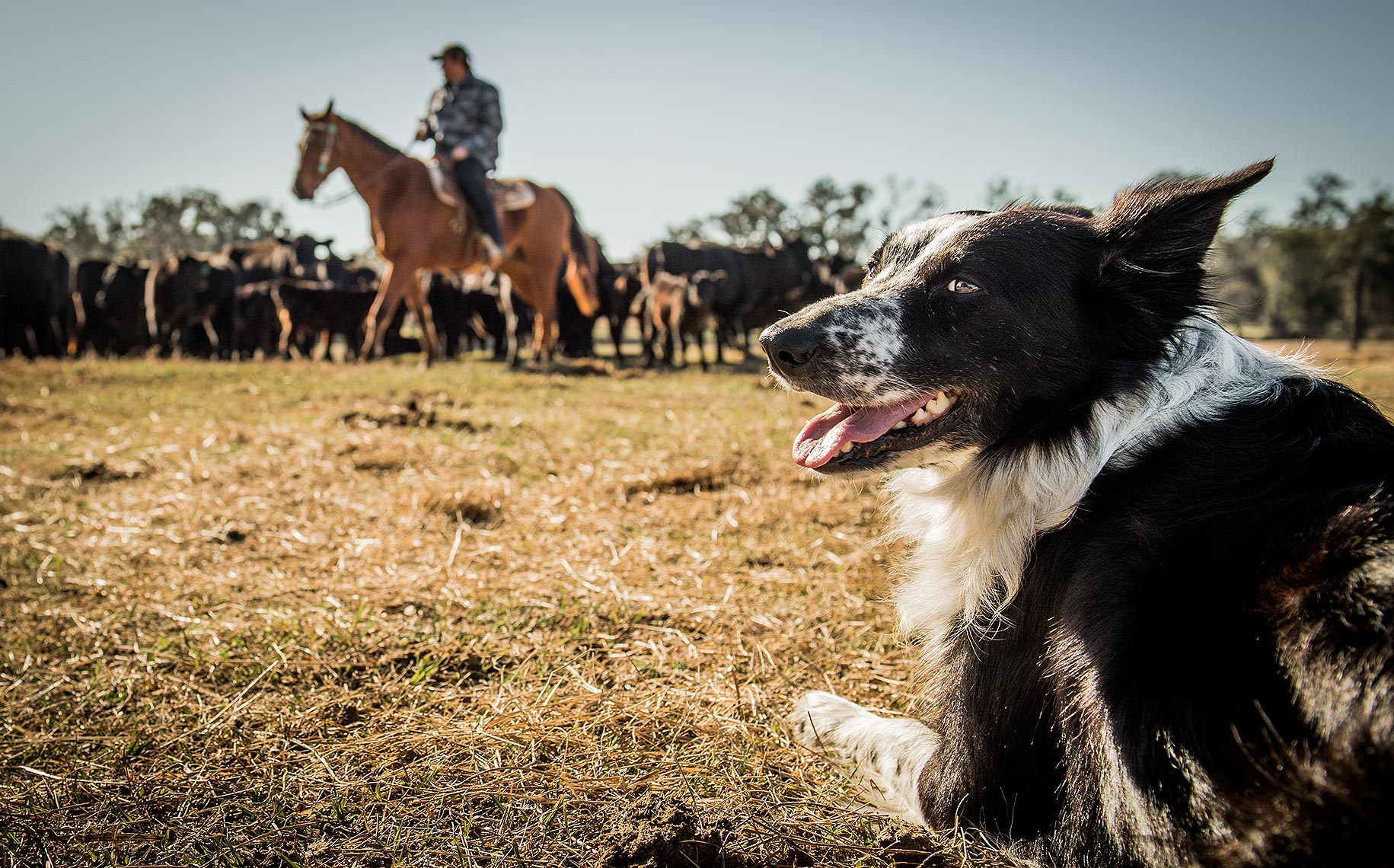 Border Collie Cattle Roundup