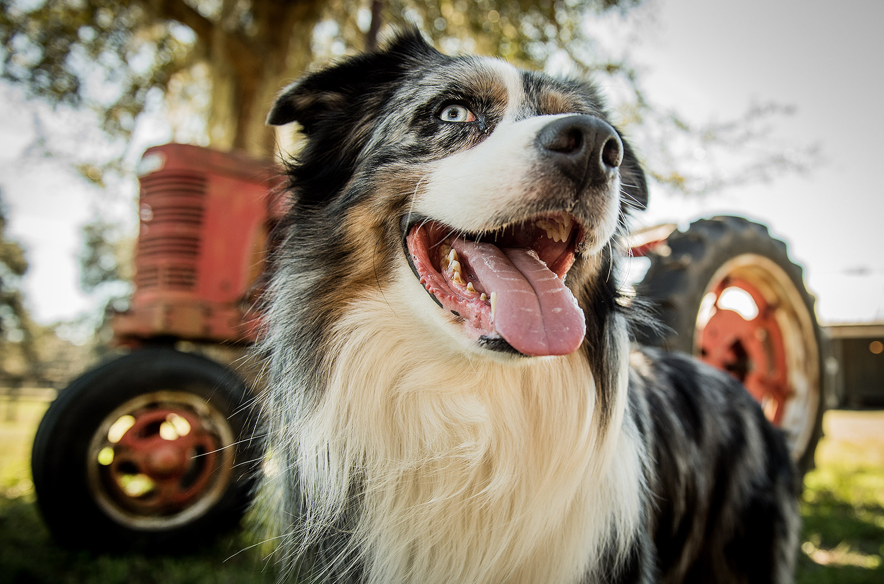 Dog and Tractor