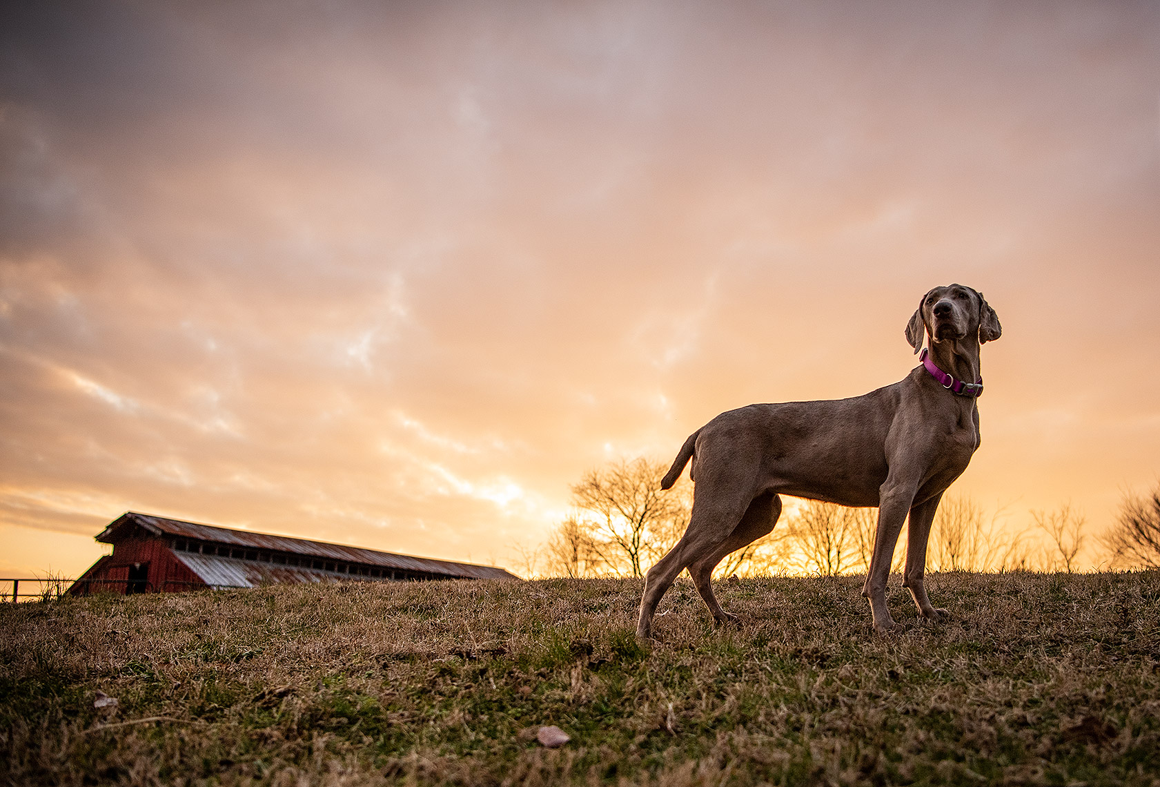 Farm Dog at Sunset