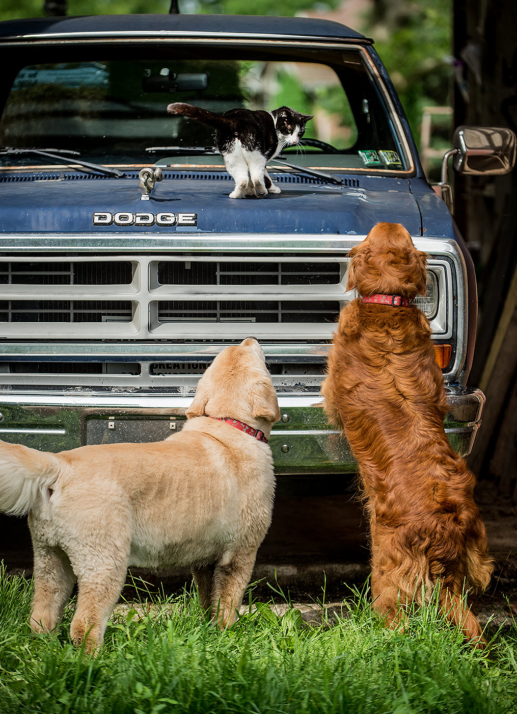 Dogs checking out Cat on Pickup Truck