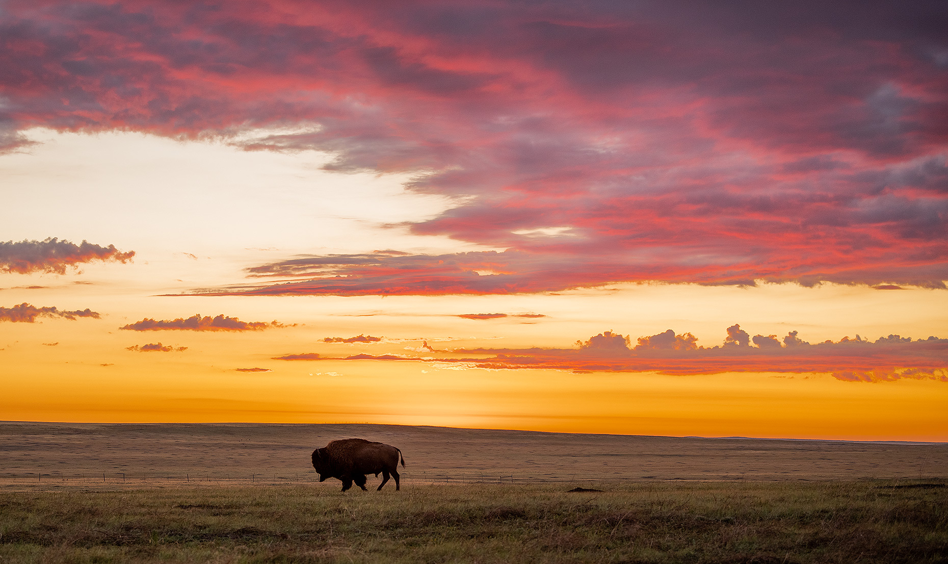 Buffalo and Bison Photography
