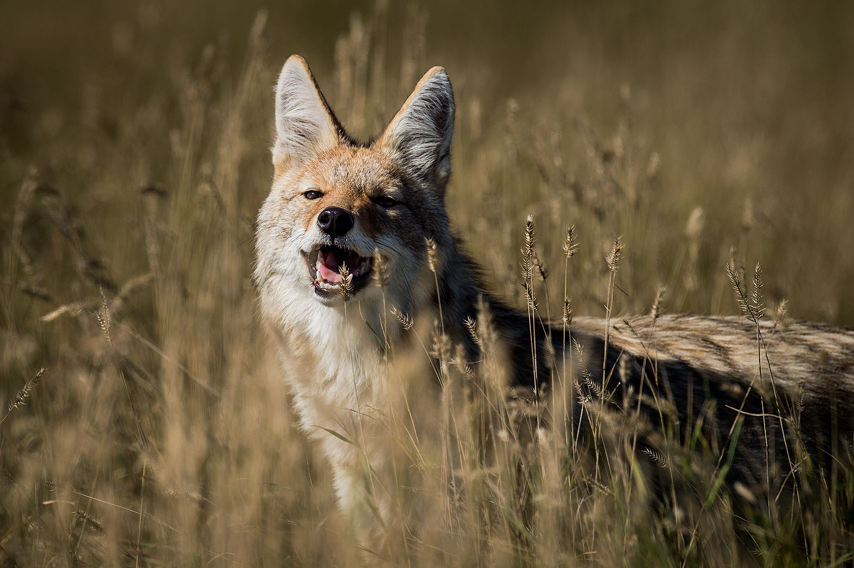 Laughing Coyote on the Prairie