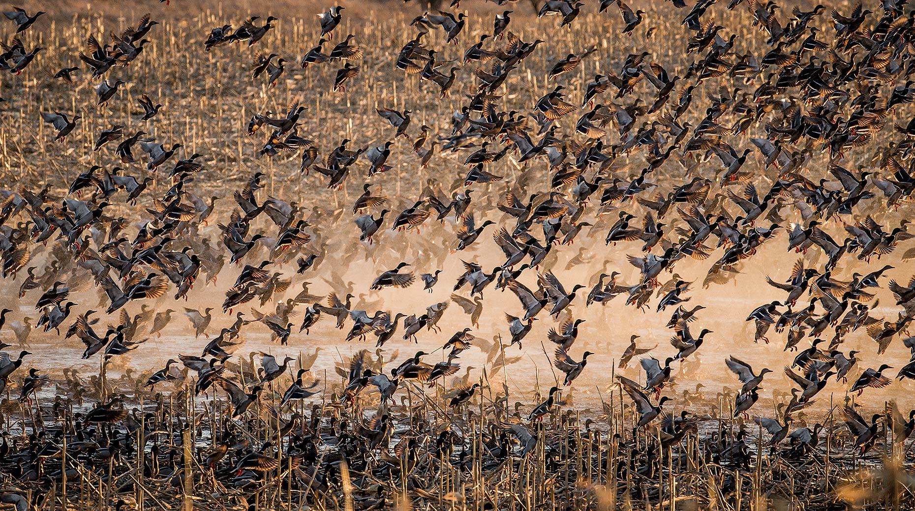 Spring Waterfowl Migration