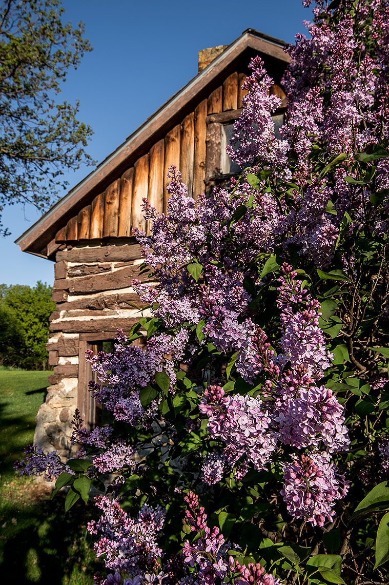 Cabin and Lilacs Photography