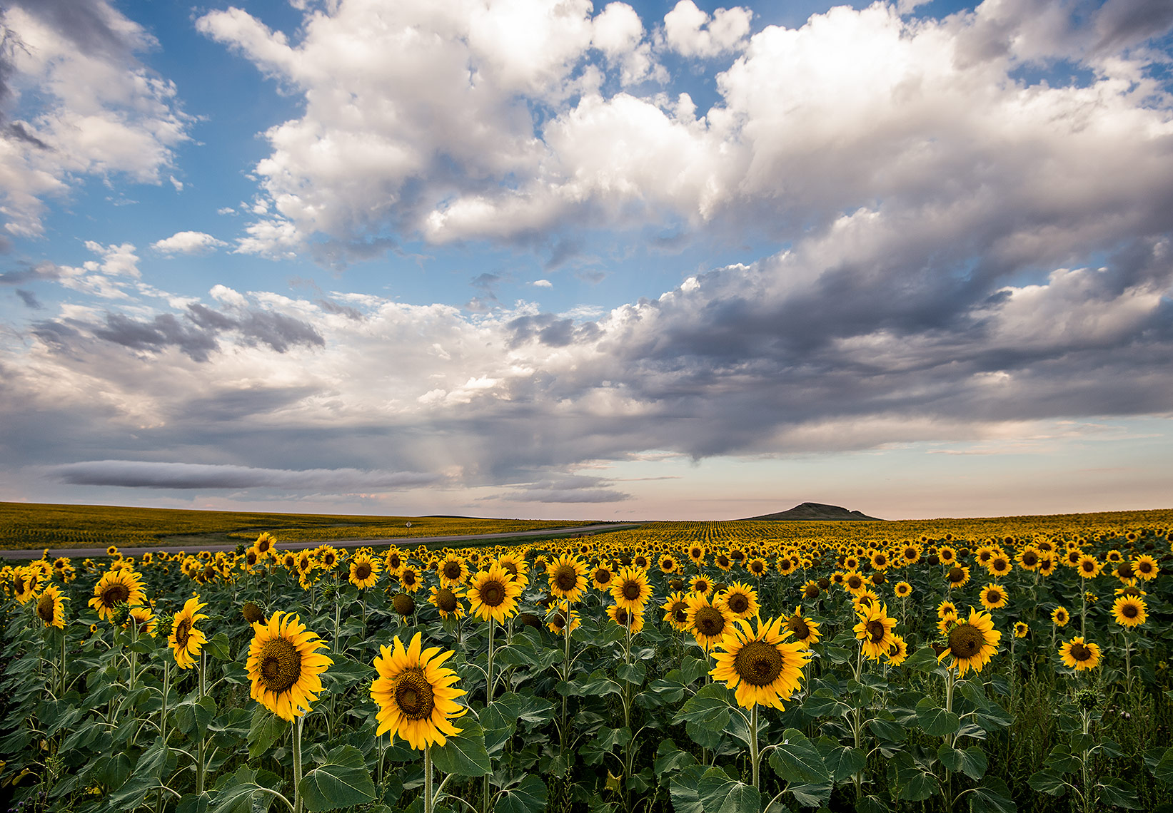Sunflower Field and Clouds