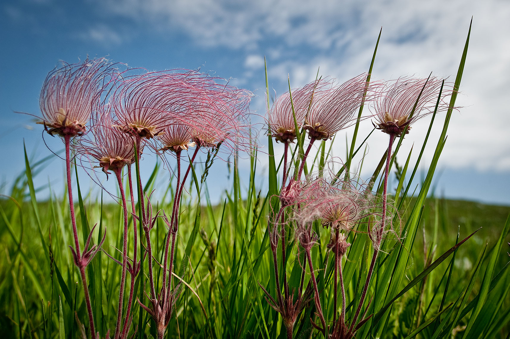 Prairie Smoke Photograph