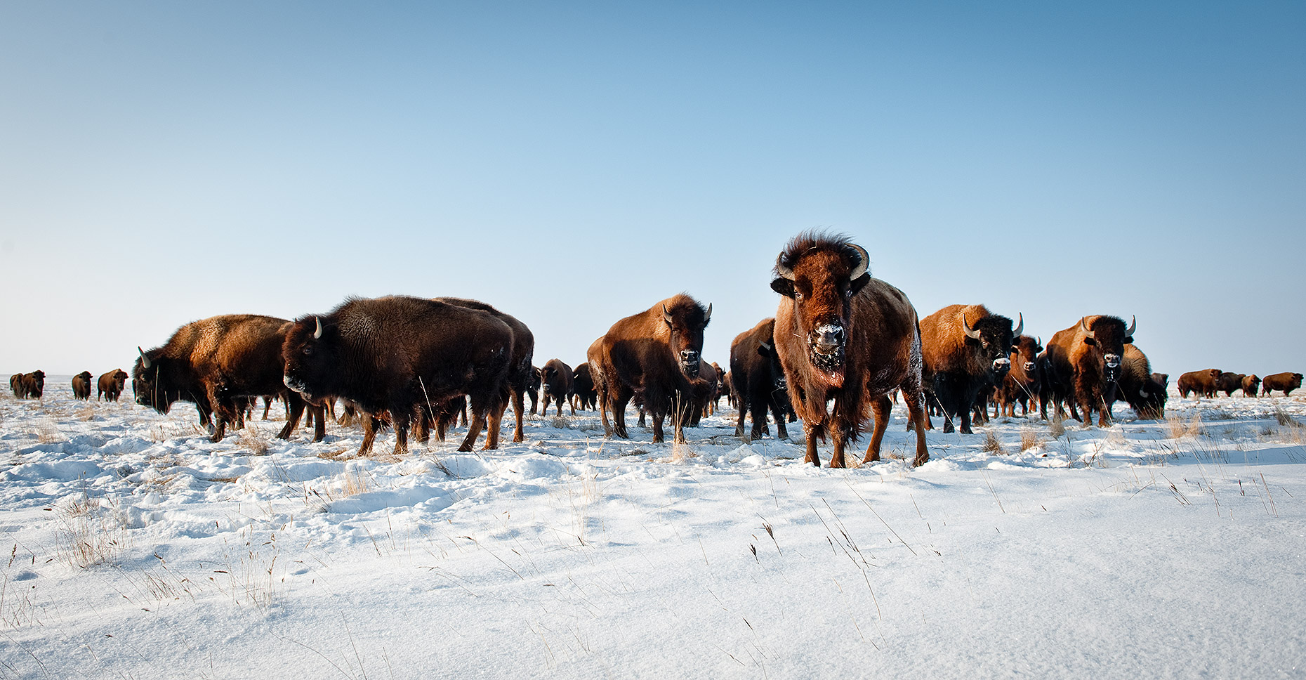Buffalo Herd in Winter
