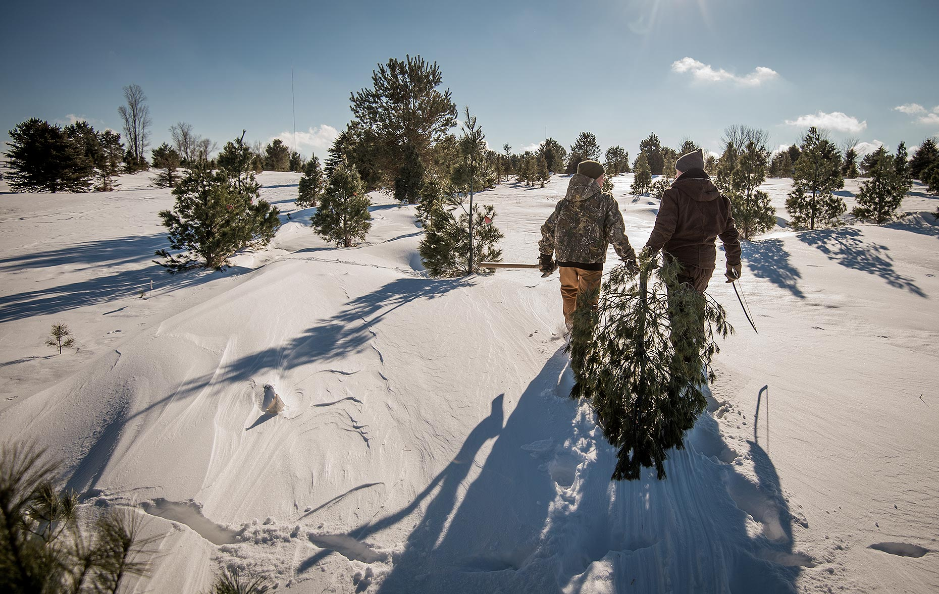 Christmas Tree Harvest in Winter
